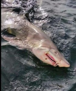 Image of shark hooked and being reeled in