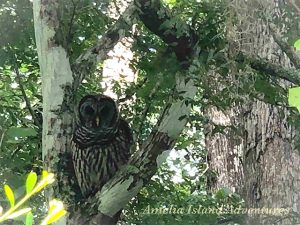 Owl sitting in tree at Amelia Island